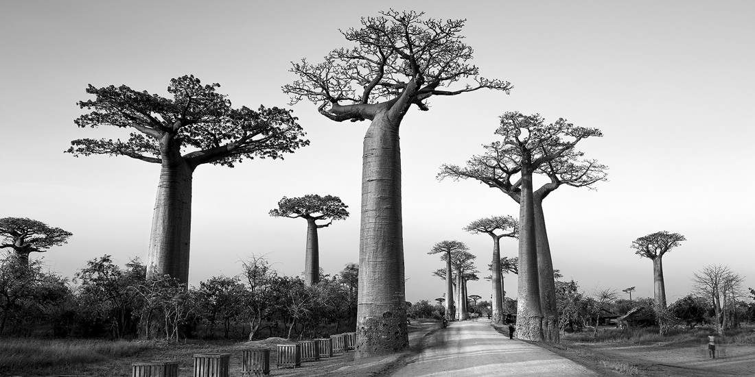 The ancient Baobab trees are an icon of Madagascar