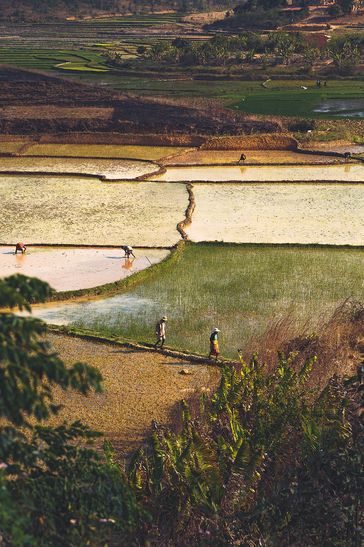 Malagasy tending their rice paddies in the afternoon heat