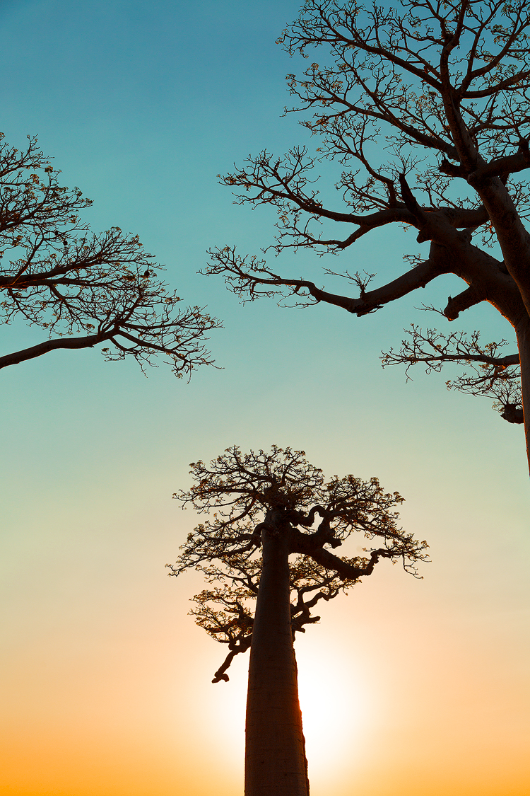 Gazing up at the upside down trees known as Baobabs