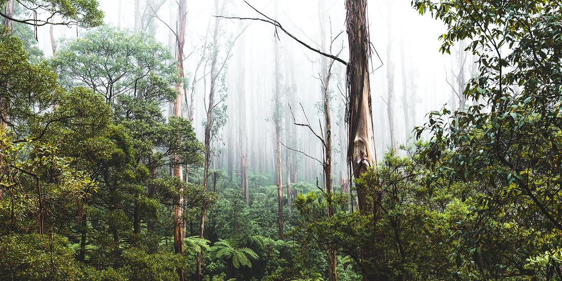 A misty morning along the Black Spur in Victoria, Australia