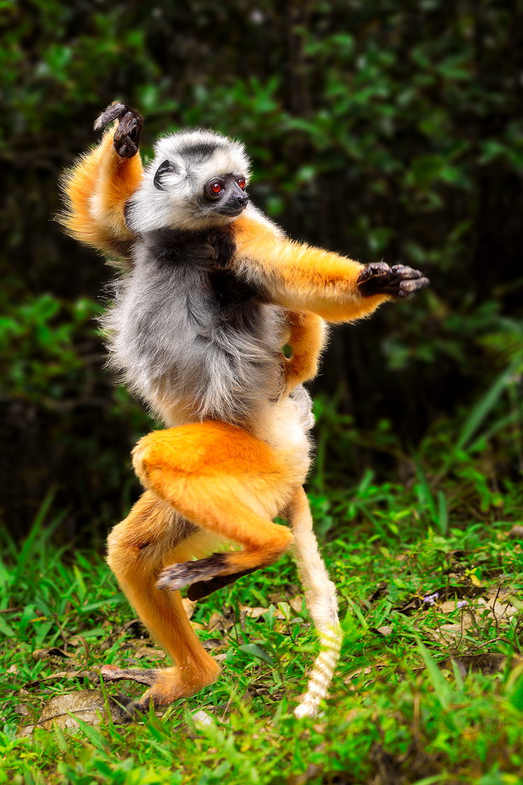 A lemur mimics the pose of the Drunken Boxing technique