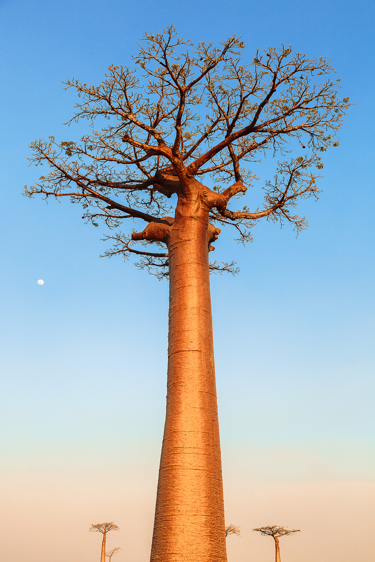 The iconic and endemic Madagascan tree, the Baobab.